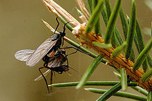 Empis.bistortae.couple.jpg