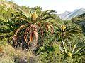 Encephalartos longifolius05.jpg