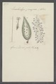 Enchelys pupa - - Print - Iconographia Zoologica - Special Collections University of Amsterdam - UBAINV0274 113 13 0020.tif
