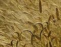 Endemic Species of Georgian Wheat.jpg