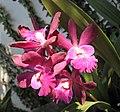 Epicattleya Joseph Romans 'Roman Holiday' -上海辰山植物園 Shanghai Chenshan Botanical Garden- (17275045456).jpg