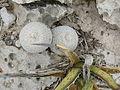 Epithelantha micromeris (5676414709).jpg
