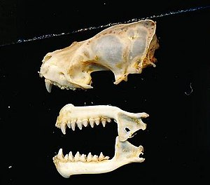 Brazilian brown bat - Image: Eptesicus brasiliensis melanopterus