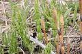 Equisetum arvense foliage and strobili 1.jpg