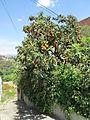Eriobotrya japonica in Coín.jpg