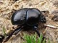 Escarabajo pelotero - Geotrupidae (9178623892).jpg