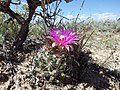 Escobaria vivipara (7462396230).jpg