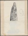 Esox lucius - 1700-1880 - Print - Iconographia Zoologica - Special Collections University of Amsterdam - UBA01 IZ14800091.tif