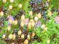 Esporofito Orthotrichum acuminatum Enfoque 2012-1-08 SierraMadrona.jpg