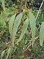 Eucalyptus camaldulensis 17.JPG