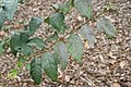 Eucalyptus deglupta 15zz.jpg