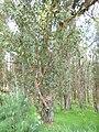 Eucalyptus globulus (Blue Gum) Crater Rd., Maui May 20, 2016 (26869334860).jpg