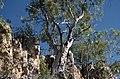 Eucalyptus umbrawarrensis.jpg