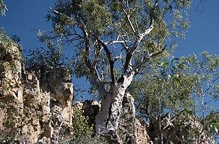 <i>Eucalyptus umbrawarrensis</i>