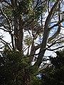 Eucalyptus viminalis Labill. (AM AK296281-2).jpg