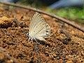 Euchrysops cnejus Fabricius, 1798 – Gram Blue at Aralam Wildlife Sanctuary 2016 (5).jpg