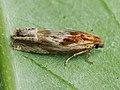 Eucosma cana - Hoary bell - Глазковая листовёртка бодяковая (40381842185).jpg