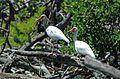 Eudocimus albus (American white ibises) (Cayo Costa Island, Florida, USA) (25314973823).jpg