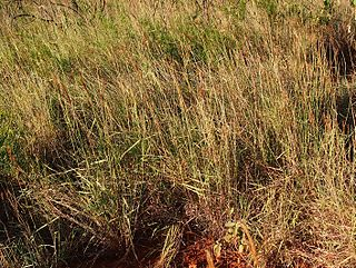 <i>Eulalia</i> (plant) genus of plants