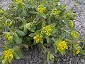 Euphorbia 2015-04-16 315.jpg