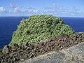 Euphorbia balsamifera (Garafía) 04.jpg