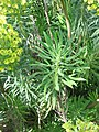 Euphorbia characias02.jpg