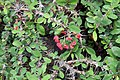 Euphorbia milii 24zz.jpg