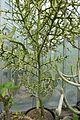 Euphorbia stenoclada-Jardin des plantes de Nantes (2).jpg
