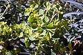 Euphorbia wulfenii, Parliament gardens, Melbourne Australia (4618508802).jpg