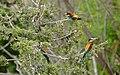 European Bee-eaters (Merops apiaster) (35663351852).jpg