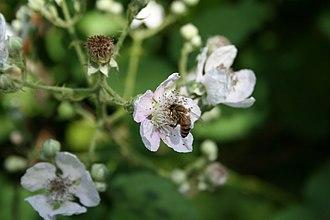 Rubus armeniacus - Image: European honey bee