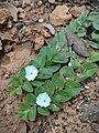 Evolvulus prostratus (Convolvulaceae).jpg