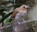 Eyebrowed Jungle Flycatcher.tif