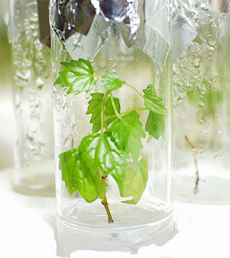 Plant breeding - In vitro-culture of Vitis (grapevine), Geisenheim Grape Breeding Institute