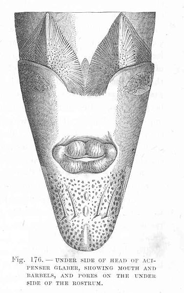 File:FMIB 48144 Under Side of Head of Acipenser glaber, Showing Mouth and Barbels, and Pores on the Under Side of the Rostrum.jpeg