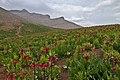 Facedown Tulips Field دشت لاله های واژگون Scientific's name is Fritillaria - panoramio.jpg