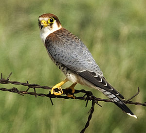 Red-necked falcon - A young F. c. chicquera with rufous on the back and shoulders