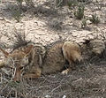 Fed coyotes dangerous to Airmen 150325-F-XX000-003.jpg