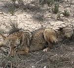 Fed coyotes dangerous to Airmen 150325-F-XX000-003.jpg