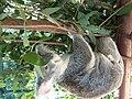 Feeding koalas - panoramio.jpg