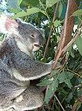 Feeding koalas - panoramio - Vinko Rajic.jpg