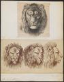 Felis leo - 1700-1880 - Print - Iconographia Zoologica - Special Collections University of Amsterdam - UBA01 IZ22100021.tif