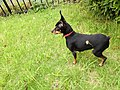 Female miniature pinscher breed of dog in grassy park in Yokohama, Japan.jpg