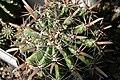 Ferocactus horridus.jpg
