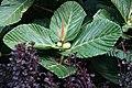Ficus-dammaropsis.jpg