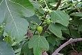 Ficus carica 0zz.jpg