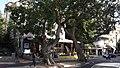 Ficus sycomorus-King George street-Tel Aviv-Yafo.jpg