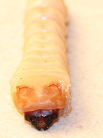 Insect morphology - Larva of beetle, family Cerambycidae, showing sclerotised epicranium; rest of body hardly sclerotised