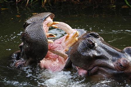 Hippos (Hippopotamus amphibius) getting aggressive - Adelaide Zoo, South Australia
