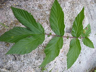 Filipendulaulmaia leaves.JPG